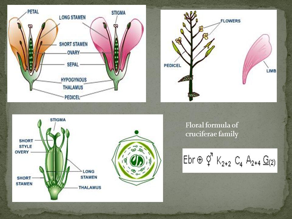 Floral formula of cruciferae family