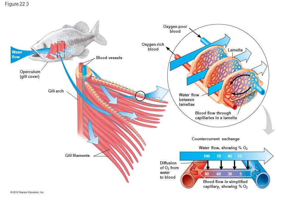 Blood flow in simplified
