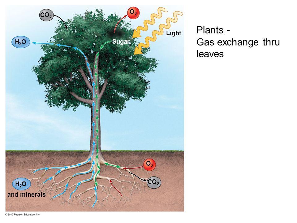 Gas exchange thru leaves