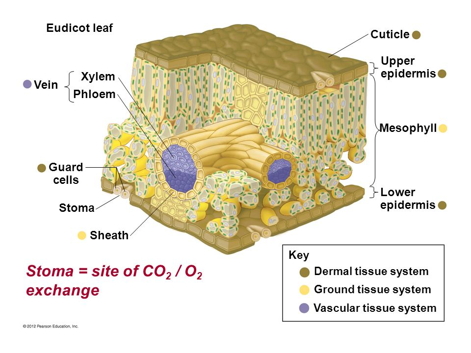 Stoma = site of CO2 / O2 exchange