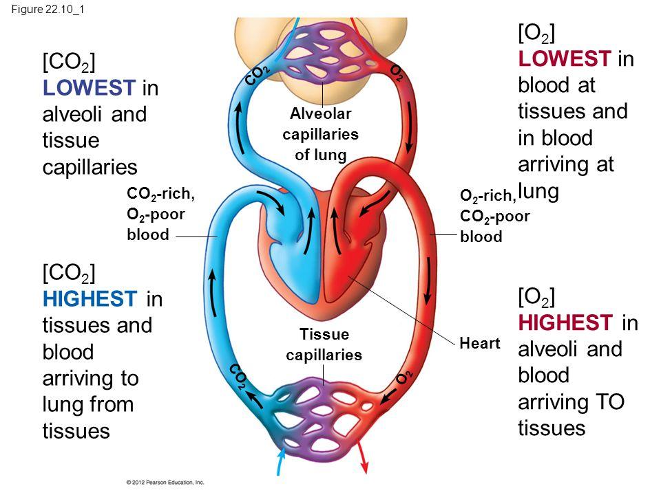 Alveolar capillaries of lung