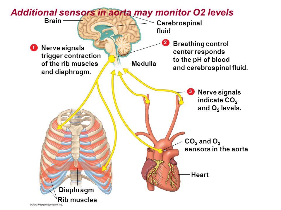 Additional sensors in aorta may monitor O2 levels