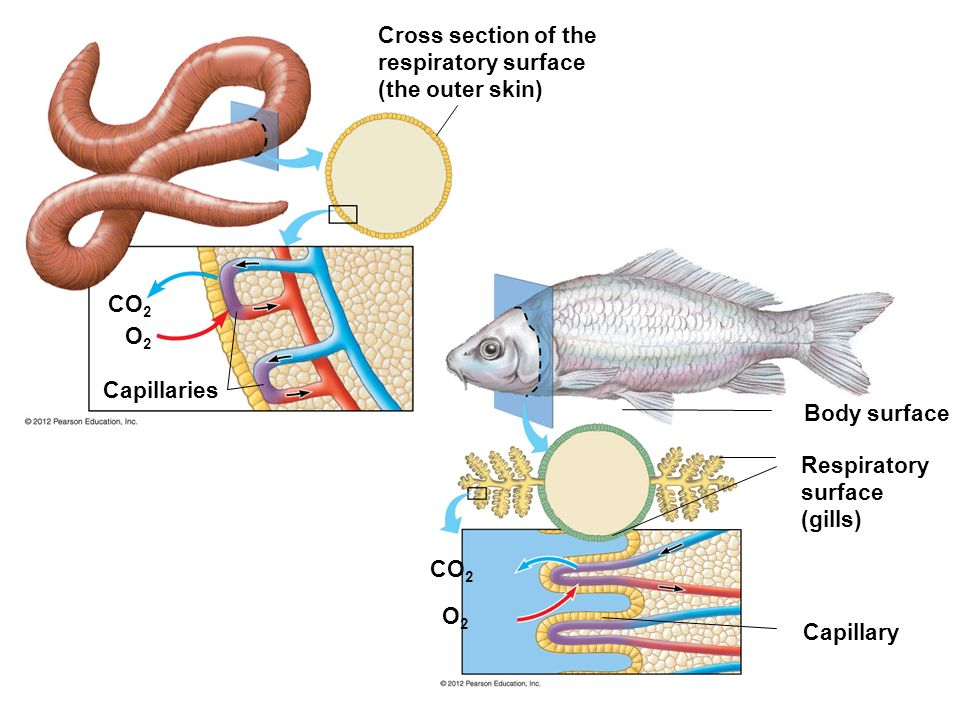 Cross section of the respiratory surface (the outer skin)