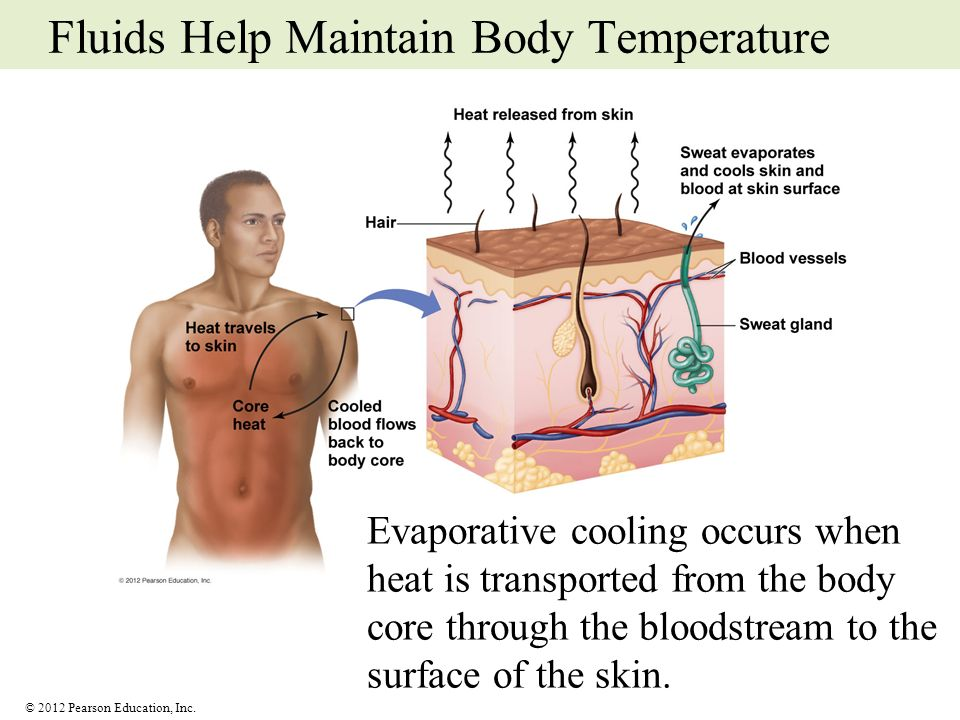 Fluids Help Maintain Body Temperature