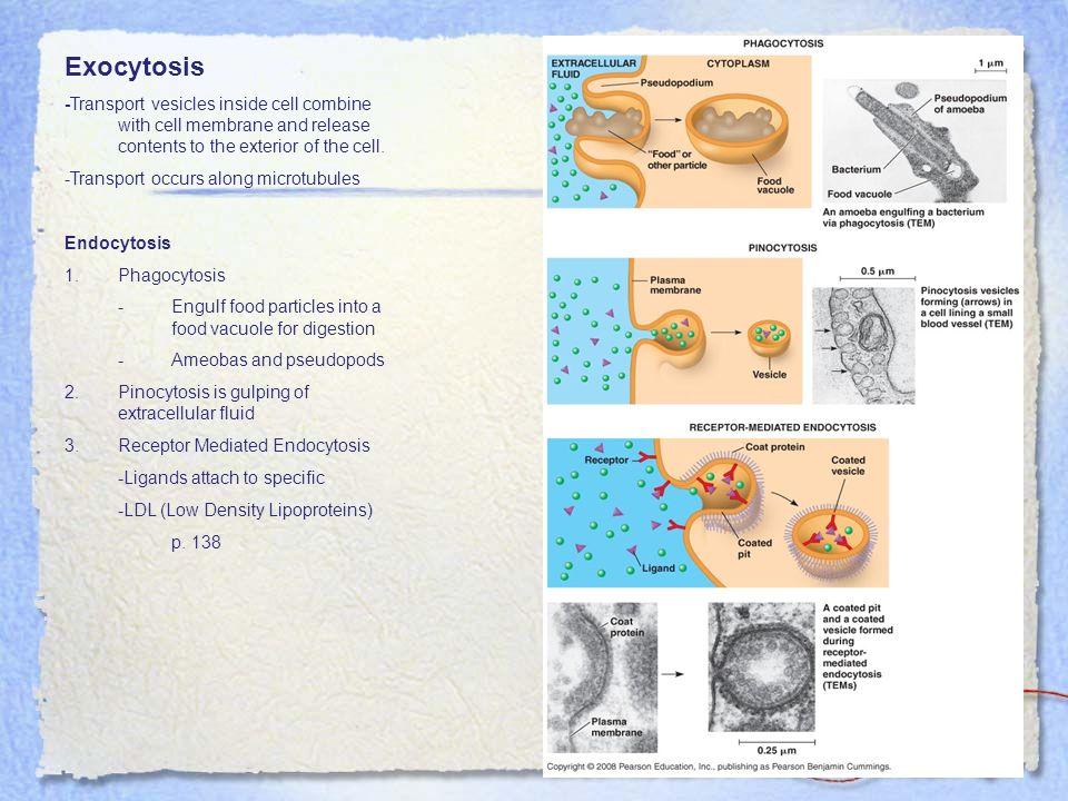 Exocytosis -Transport vesicles inside cell combine with cell membrane and release contents to the exterior of the cell.