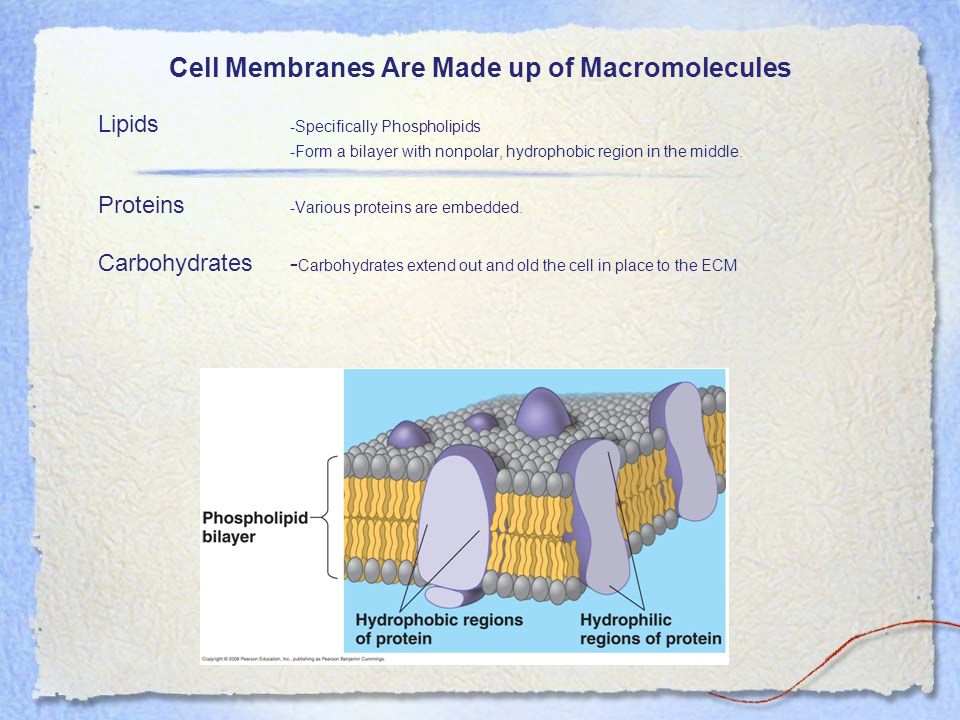 Cell Membranes Are Made up of Macromolecules