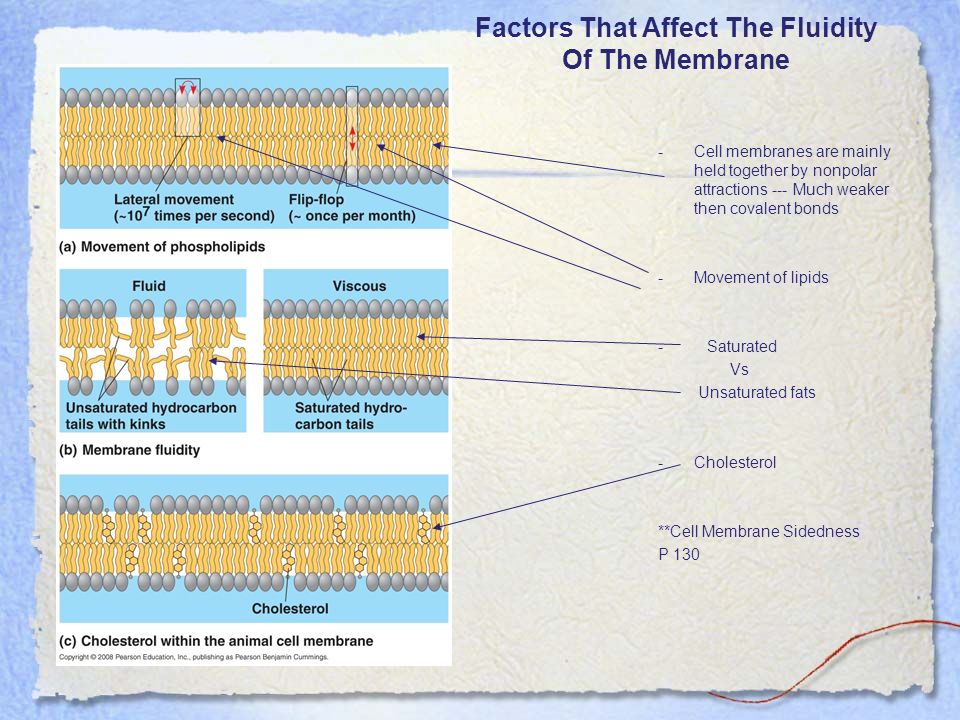 Factors That Affect The Fluidity Of The Membrane