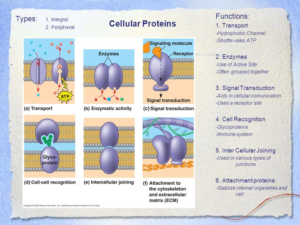 Cellular Proteins Functions: Types: 1. Integral 1. Transport