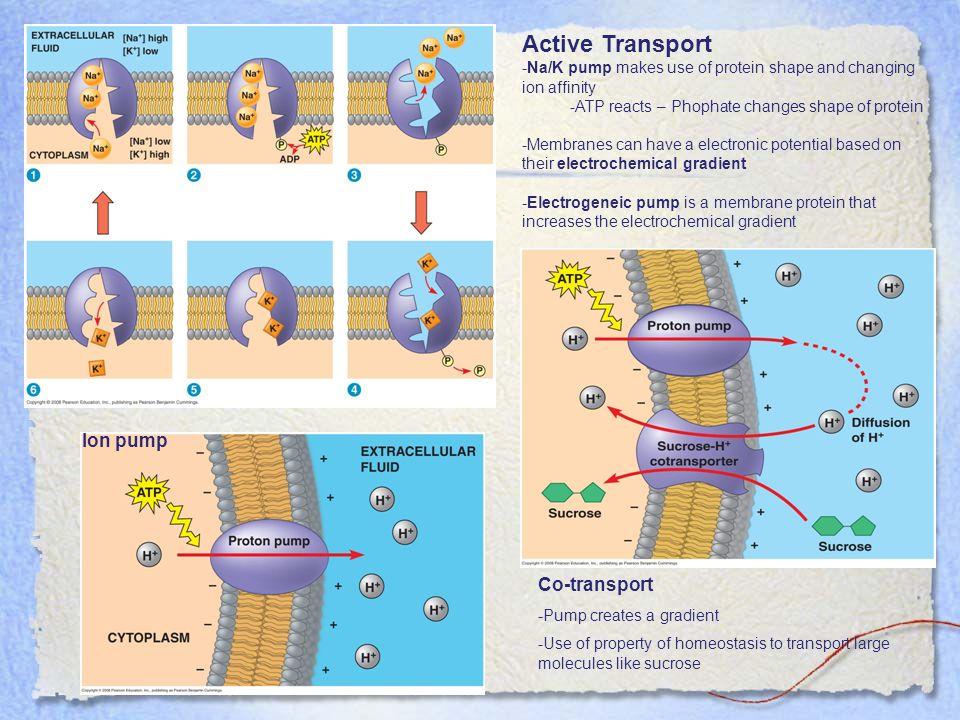 Active Transport Ion pump Co-transport