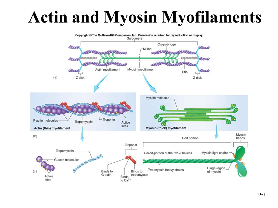 Actin and Myosin Myofilaments