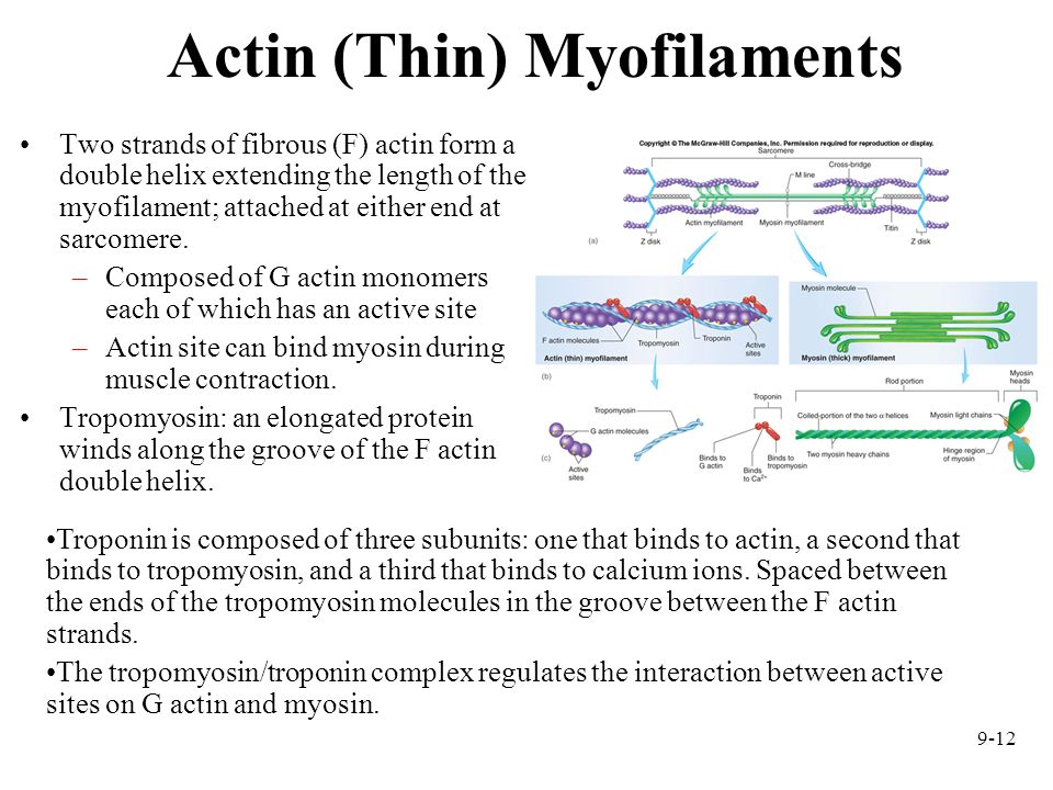 Actin (Thin) Myofilaments