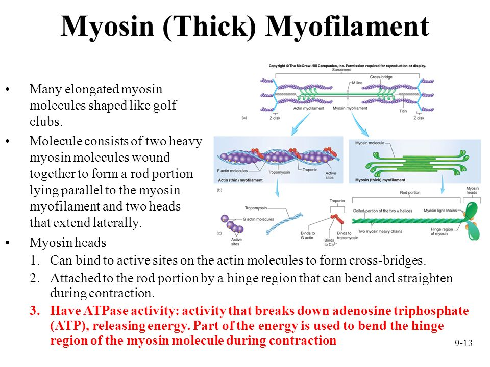 Myosin (Thick) Myofilament