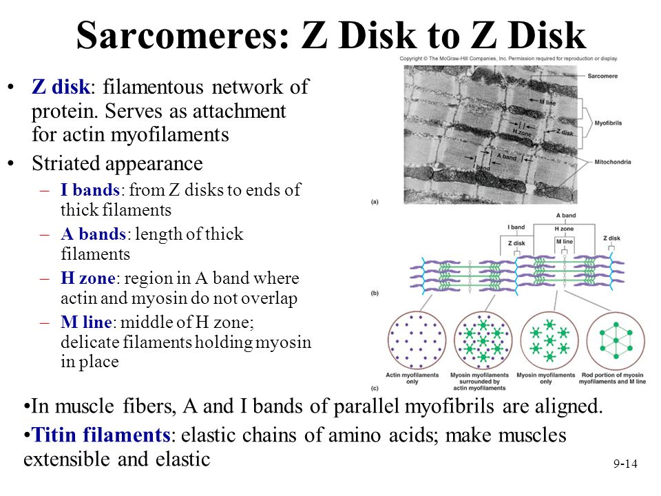 Sarcomeres: Z Disk to Z Disk