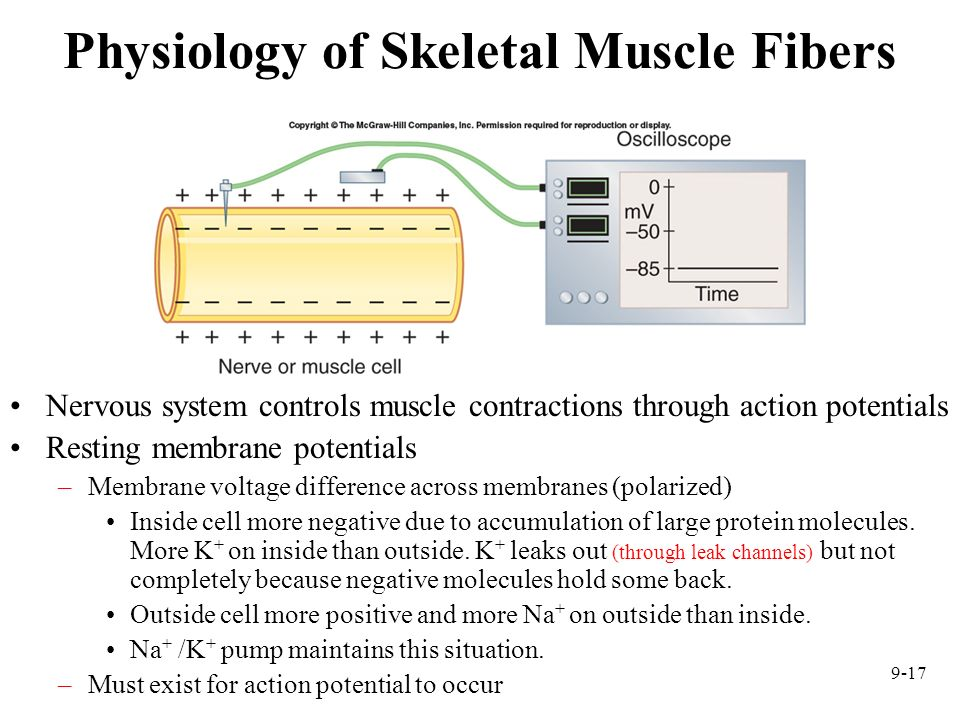 Physiology of Skeletal Muscle Fibers