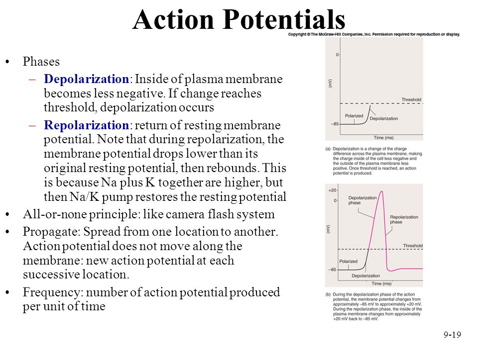 Action Potentials Phases