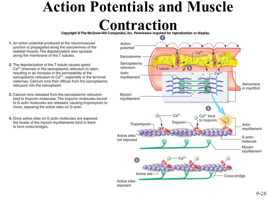 Action Potentials and Muscle Contraction