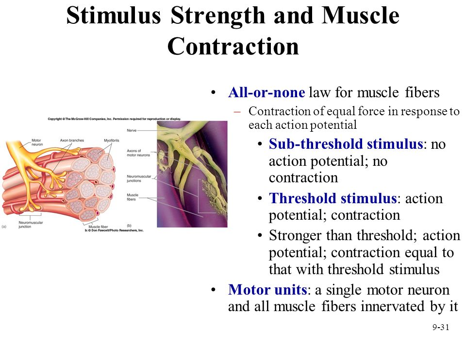 Stimulus Strength and Muscle Contraction