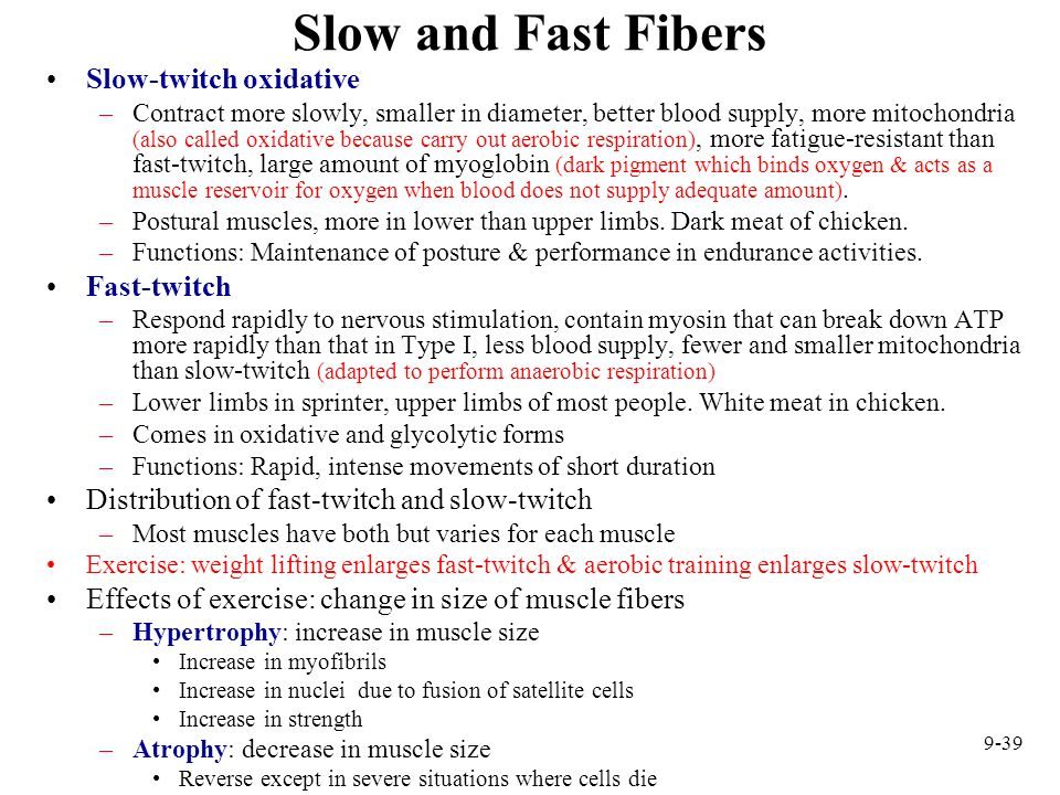 Slow and Fast Fibers Slow-twitch oxidative Fast-twitch