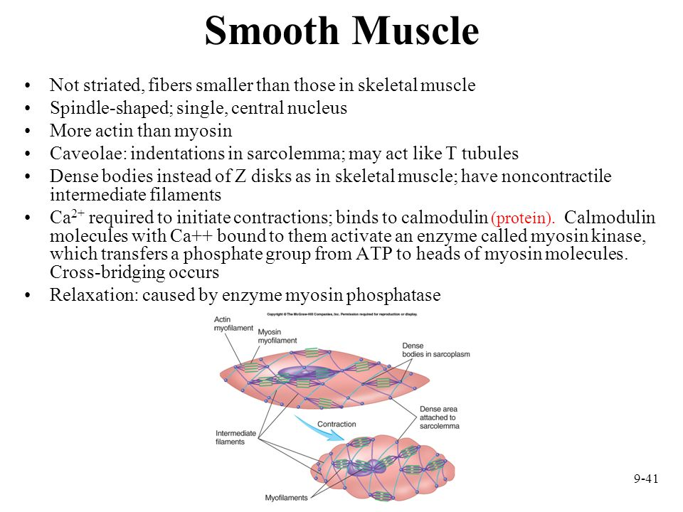 Smooth Muscle Not striated, fibers smaller than those in skeletal muscle. Spindle-shaped; single, central nucleus.