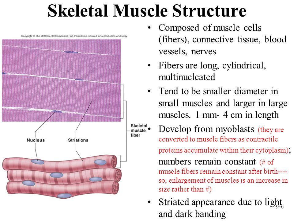 What Are the Organelles of a Skeletal Muscle Cell?