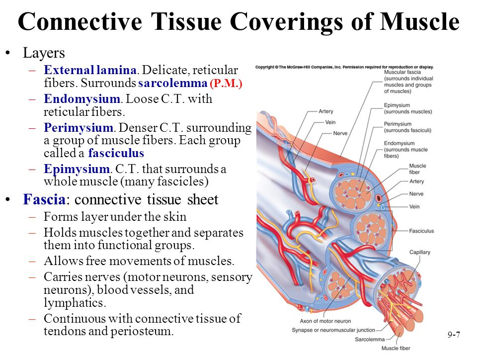 Connective Tissue Coverings of Muscle