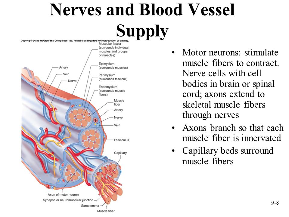 Nerves and Blood Vessel Supply