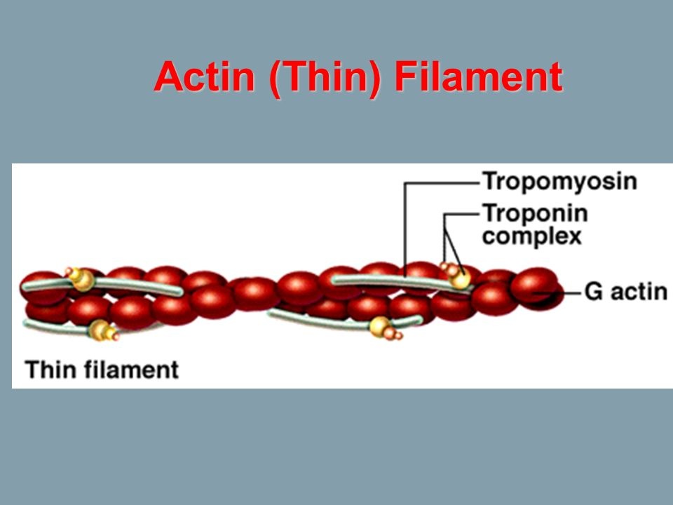 Actin (Thin) Filament