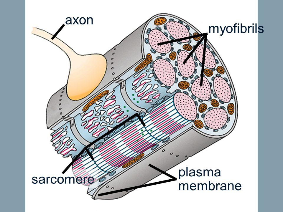 axon myofibrils sarcomere plasma membrane
