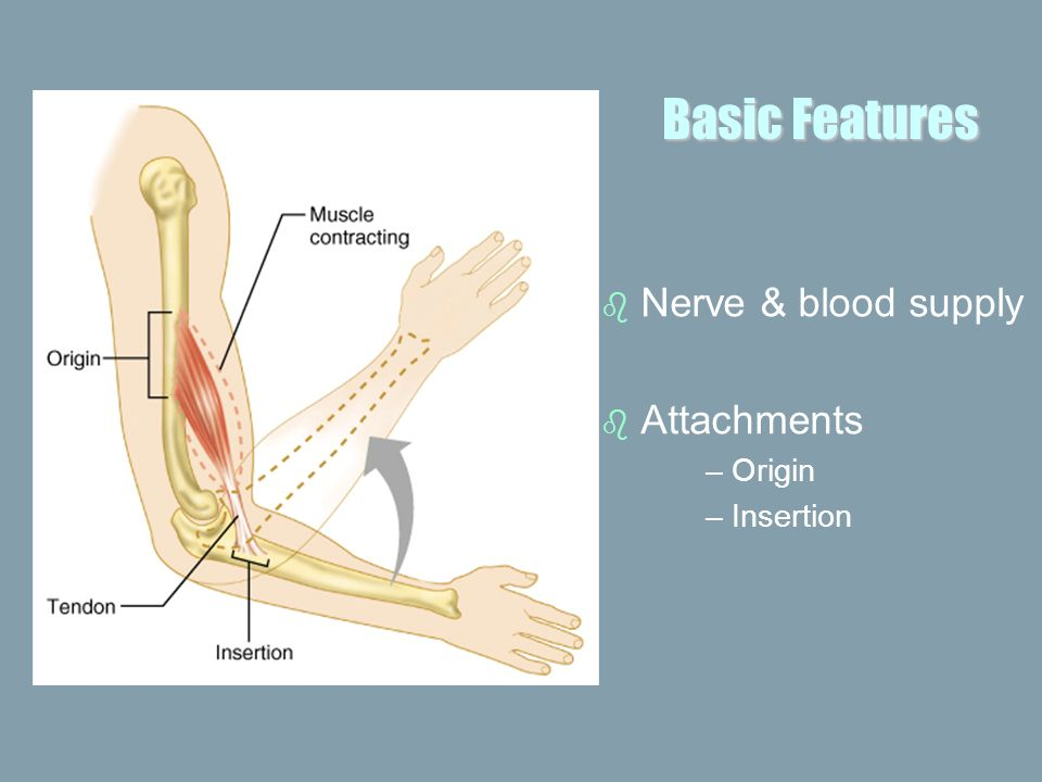 Basic Features Nerve & blood supply Attachments Origin Insertion