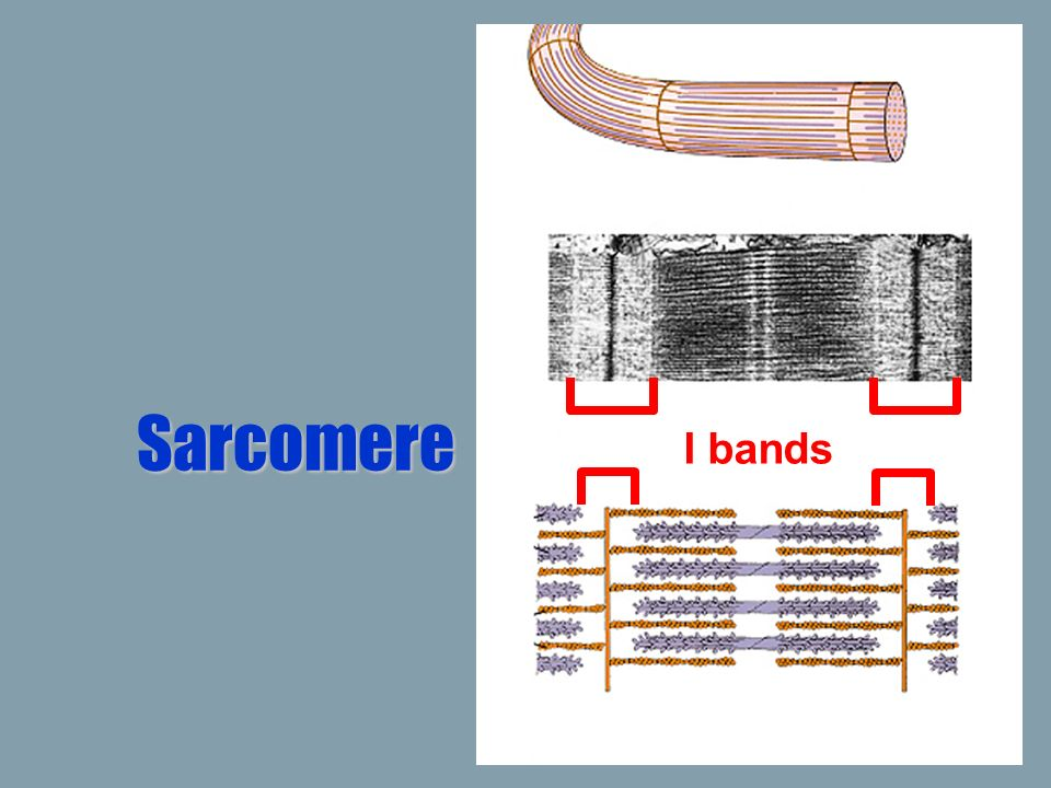 Sarcomere I bands