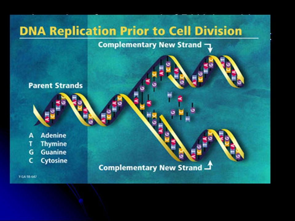 Explain how DNA replication occurs.