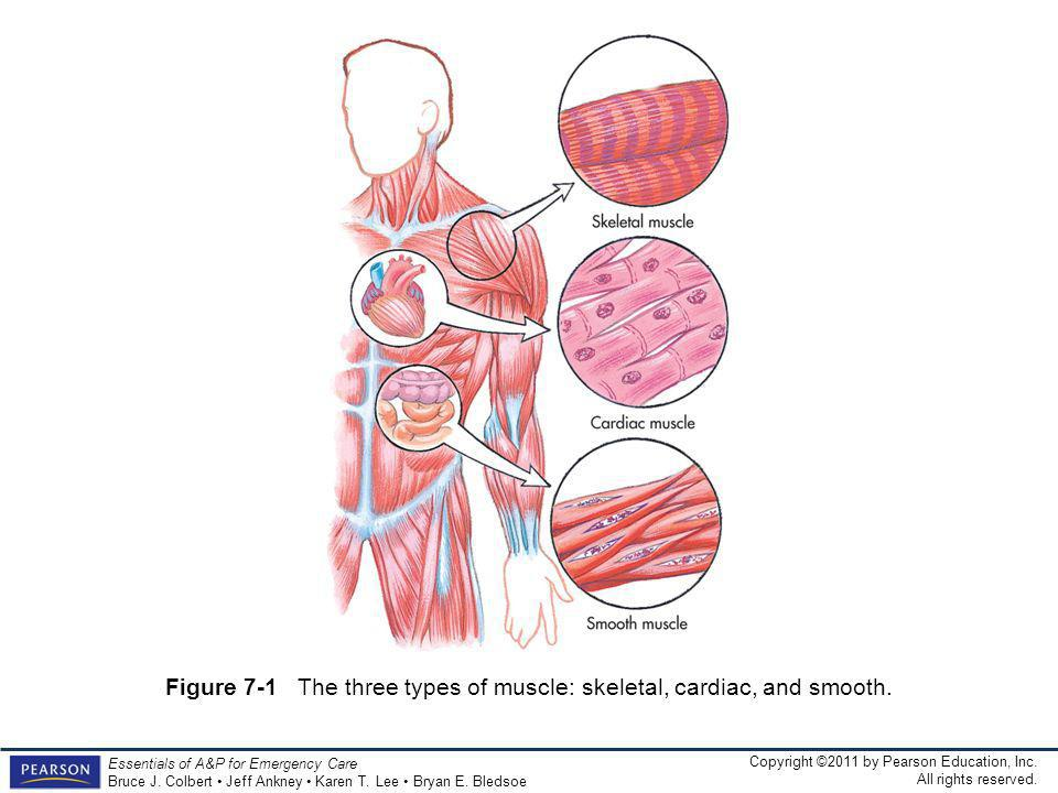 Figure 7-1 The three types of muscle: skeletal, cardiac, and smooth.