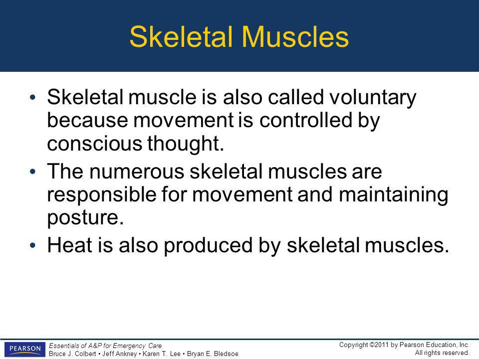 Skeletal Muscles Skeletal muscle is also called voluntary because movement is controlled by conscious thought.