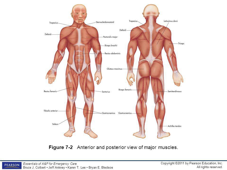Figure 7-2 Anterior and posterior view of major muscles.