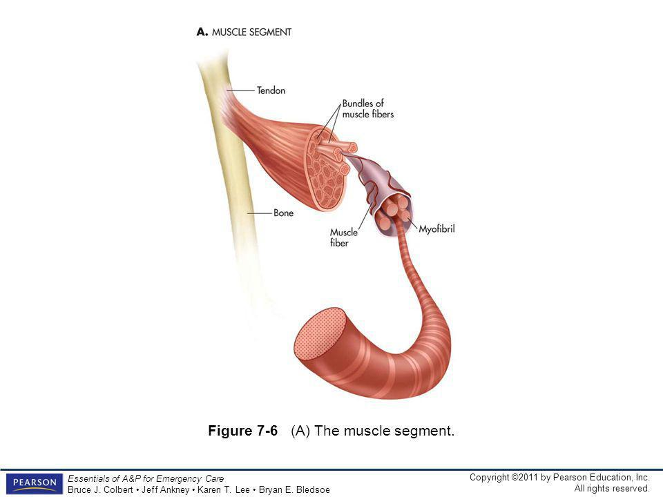 Figure 7-6 (A) The muscle segment.