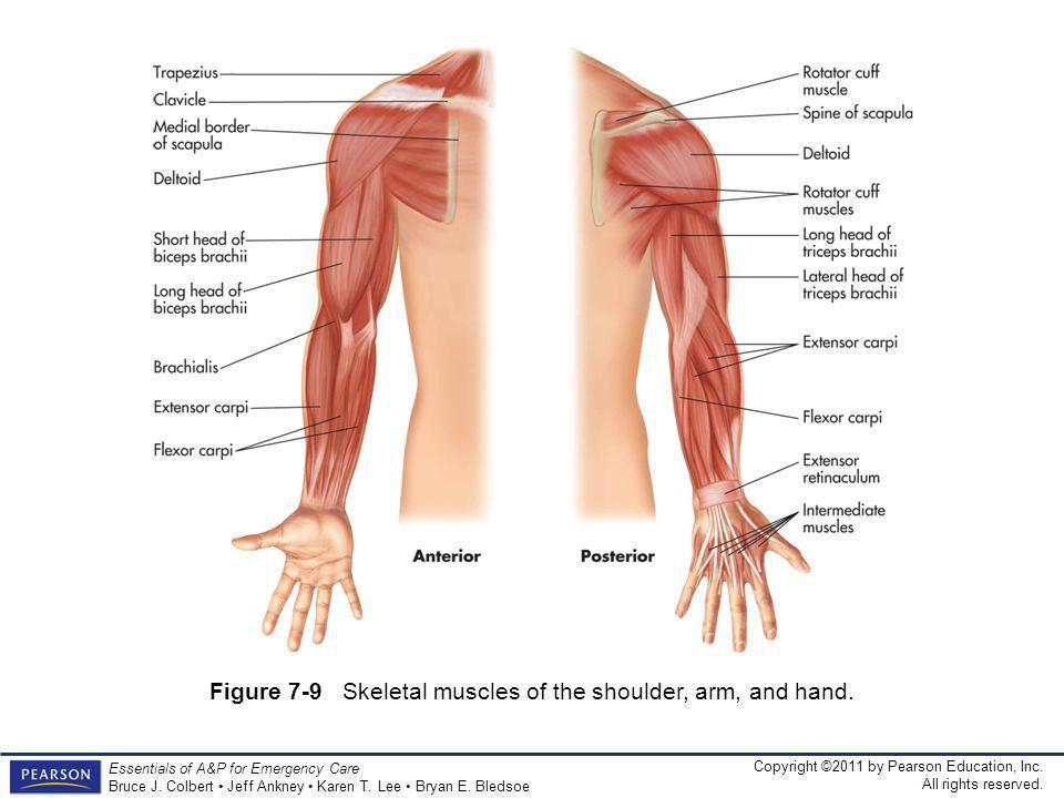 Figure 7-9 Skeletal muscles of the shoulder, arm, and hand.