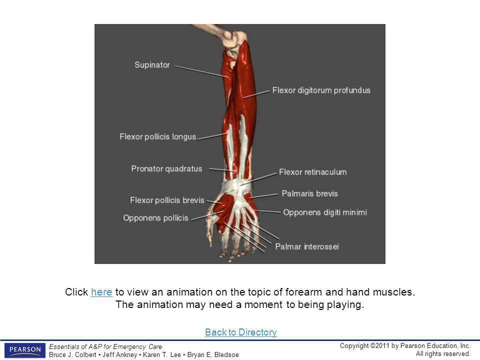 Click here to view an animation on the topic of forearm and hand muscles. The animation may need a moment to being playing.