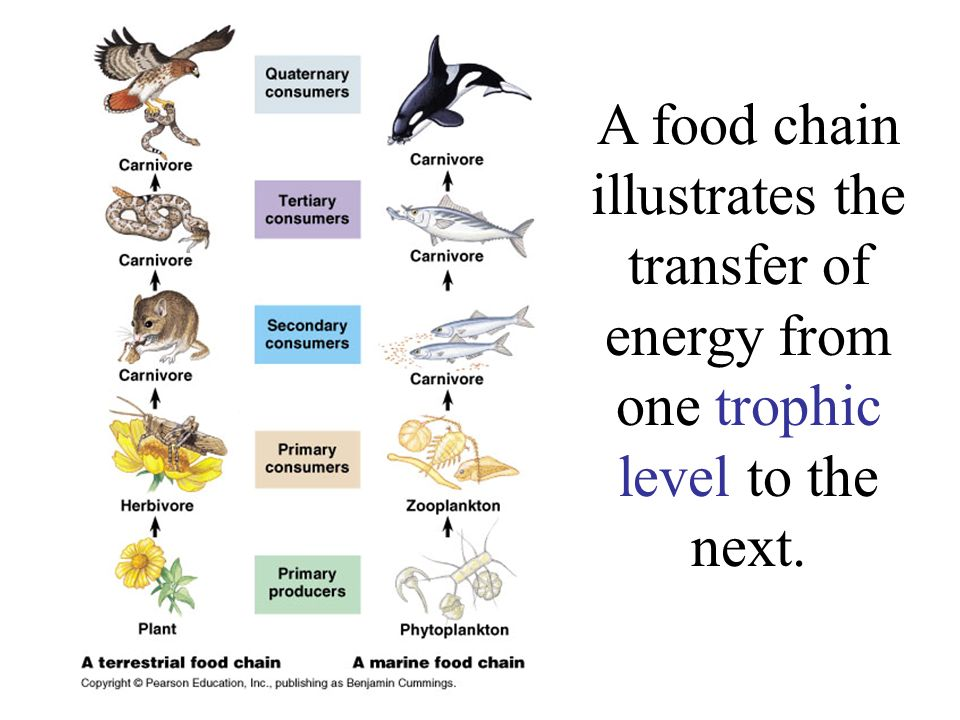 A food chain illustrates the transfer of energy from one trophic level to the next.