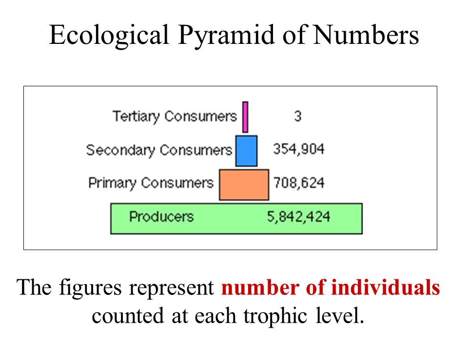 Ecological Pyramid of Numbers