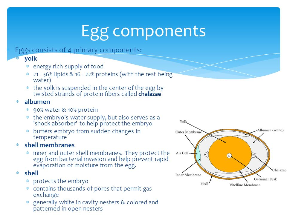 Egg components Eggs consists of 4 primary components: yolk albumen