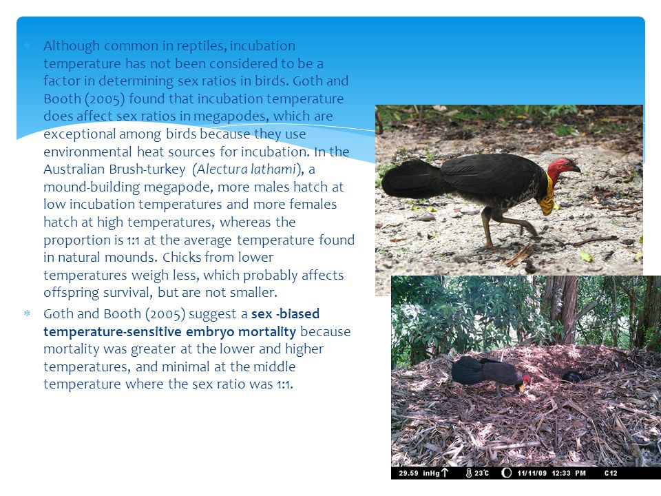 Although common in reptiles, incubation temperature has not been considered to be a factor in determining sex ratios in birds. Goth and Booth (2005) found that incubation temperature does affect sex ratios in megapodes, which are exceptional among birds because they use environmental heat sources for incubation. In the Australian Brush-turkey (Alectura lathami), a mound-building megapode, more males hatch at low incubation temperatures and more females hatch at high temperatures, whereas the proportion is 1:1 at the average temperature found in natural mounds. Chicks from lower temperatures weigh less, which probably affects offspring survival, but are not smaller.