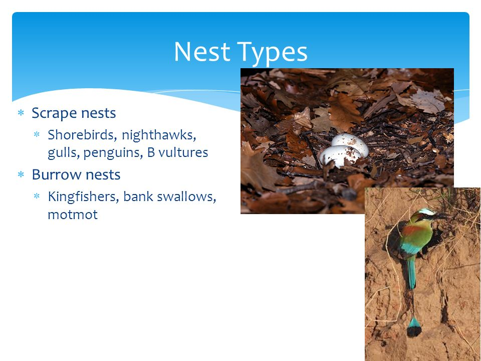 Nest Types Scrape nests Burrow nests