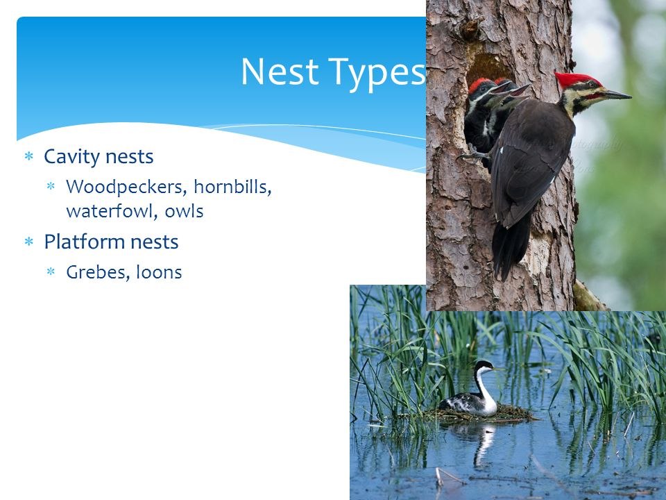 Nest Types Cavity nests Platform nests
