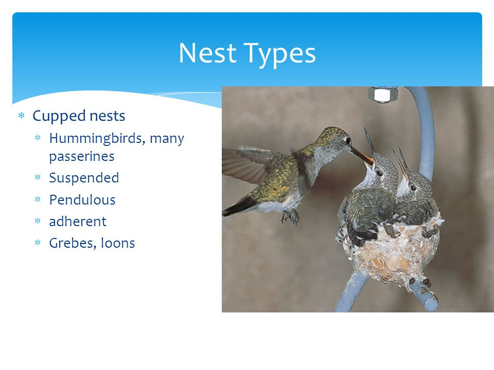 Nest Types Cupped nests Hummingbirds, many passerines Suspended