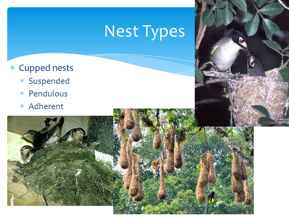 Nest Types Cupped nests Suspended Pendulous Adherent