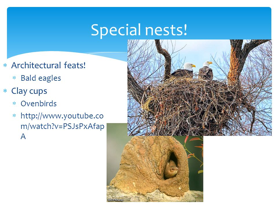 Special nests! Architectural feats! Clay cups Bald eagles Ovenbirds