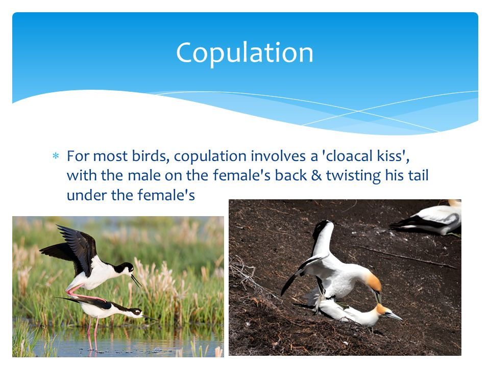Copulation For most birds, copulation involves a cloacal kiss , with the male on the female s back & twisting his tail under the female s.