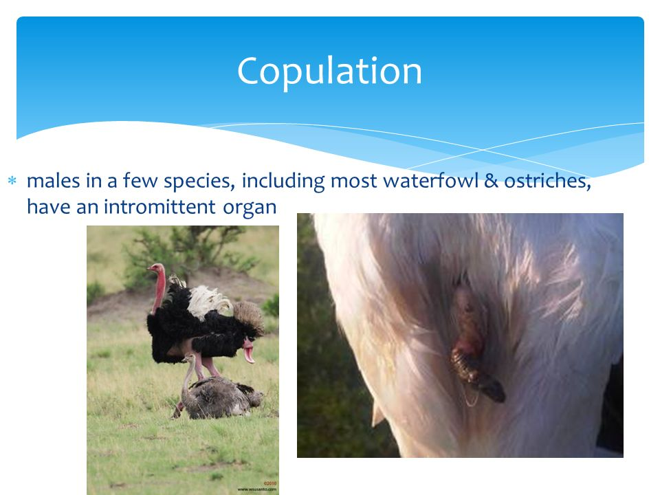 Copulation males in a few species, including most waterfowl & ostriches, have an intromittent organ