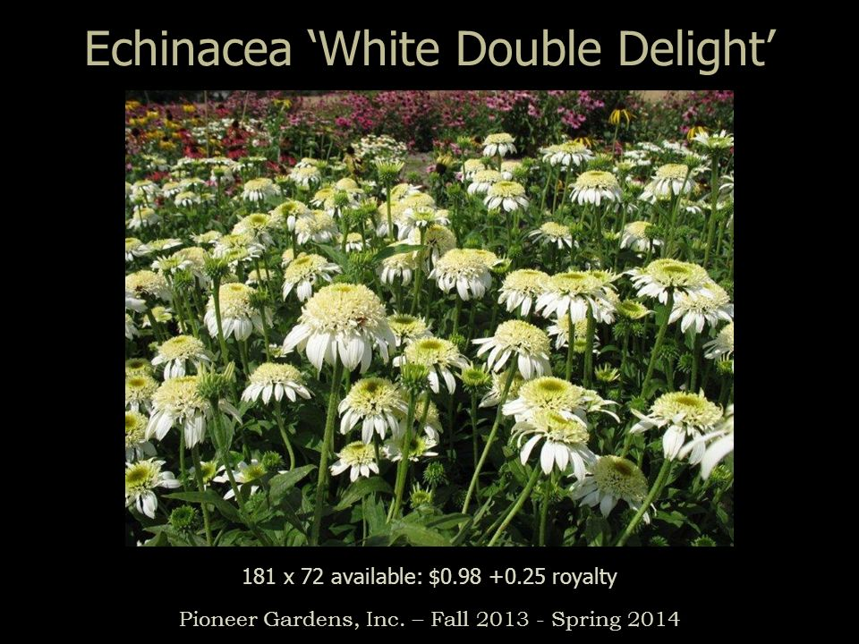 Echinacea 'White Double Delight'