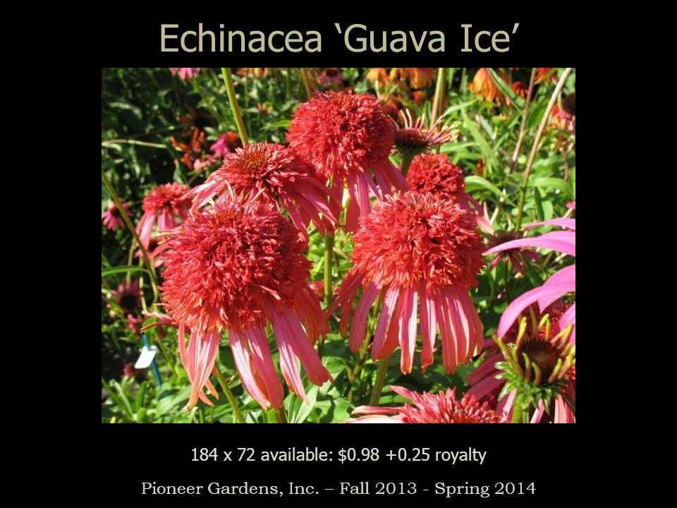 Echinacea 'Guava Ice' 184 x 72 available: $0.98 +0.25 royalty